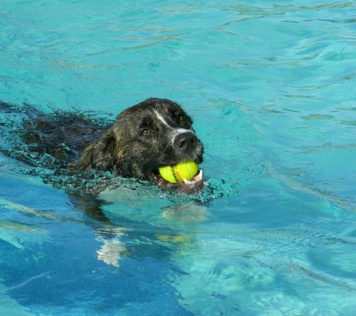 a large black dog swims in water holding a tennis ball in its mouth