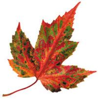 Image of Maple Leaf
